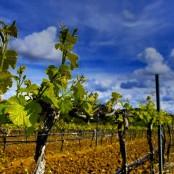 Entre los viñedos del Somontano